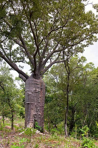 Boab Tree Katherine Northern Territory