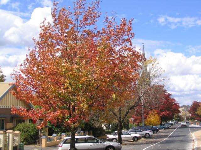 Autumn_trees_in_Byng_St,_Orange_NSW (2)